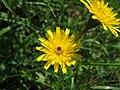 2018-05-13 (186) Tragopogon pratensis (Jack-go-to-bed-at-noon) at Bichlhäusl, Frankenfels, Austria.jpg