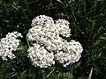 2018-06-24 Common Yarrow (Achillea millefolium), Seaview Road, Mundesley.JPG