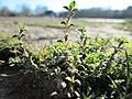 20180213Arenaria serpyllifolia3.jpg