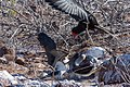 20180805-Frigatebird steals food from the Blue-footed booby at Seymour Norte-4 (9270).jpg