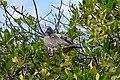 20180807-Red-footed booby (adult) at Genovesa (9484).jpg