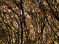 2019-11-26 12 45 19 The interior of a Euonymus during late autumn along a walking path in the Franklin Glen section of Chantilly, Fairfax County, Virginia.jpg