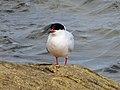 2020-07-18 Sterna dougallii, St Marys Island, Northumberland 06.jpg