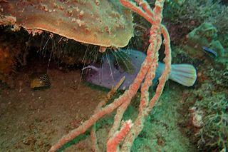 File:29-EastTimor-Dive1 K-57 05 (Box Fish and Puffer Fish)-APiazza.JPG ...