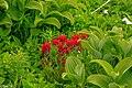 2nd Sun Peaks flower hike of the year...brilliant Common Red Paintbrush (Castilleja miniata) surrounded by green groves of Indian Hellebore (Veratrum viride)... (28577521395).jpg