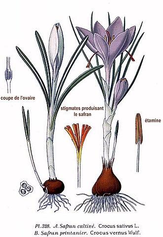 Crocus - Image: 328 Crocus sativus L., C. vernus Wulf