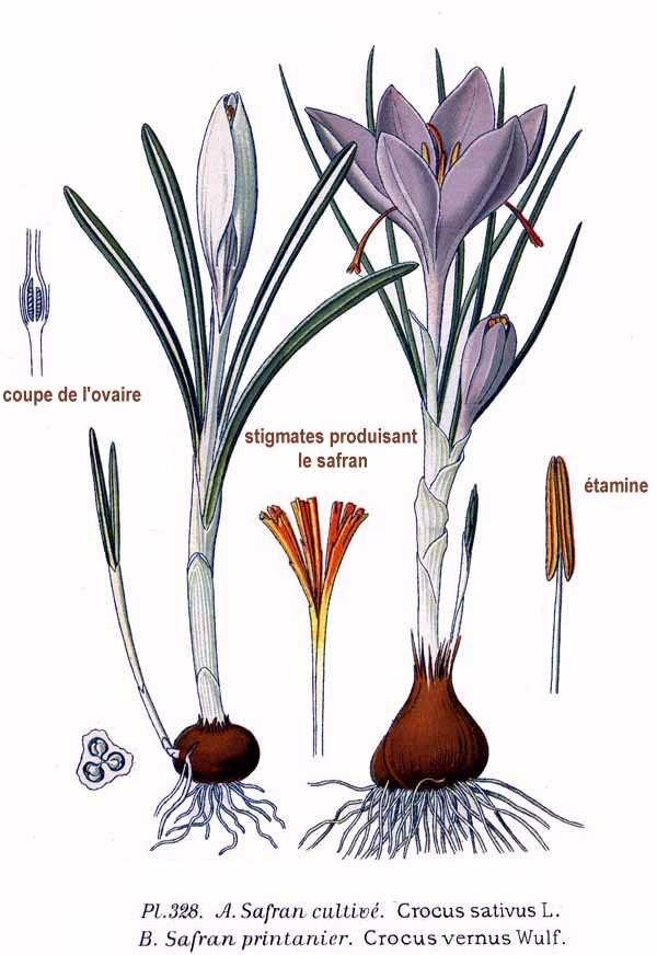 328 Crocus sativus L., C. vernus Wulf