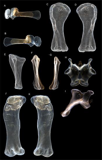 3D Restorations of Australotitan Holotype.png