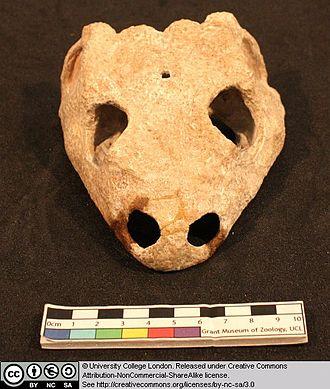 Dissorophus - Dissorophus multicinctus skull in anterior view showing frontal depressions