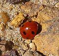 7-spot Ladybird. Cocinella 7-punctata - Flickr - gailhampshire.jpg