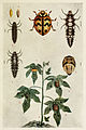 75-Indian-Insect-Life - Harold Maxwell-Lefroy - Cheilomenes-sexmaculata.jpg