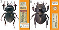 A-review-of-the-primary-types-of-the-Hawaiian-stag-beetle-genus-Apterocyclus-Waterhouse-(Coleoptera-zookeys-433-077-g003.jpg