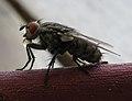 AIMG 8610 Fliege mit Verdauungstropfen.jpg