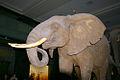 AMNH.olifant.jpg