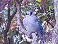 A Blue Jay In Hartford (190603297).jpeg