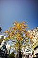 A Bombax ceiba tree in downtown Taichung.jpg