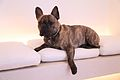 A Brindle French Bulldog.jpg