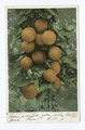 A Cluster of Oranges, Florida (NYPL b12647398-62394).tiff