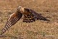 A Montagu's Harrier - taking off (49482036657).jpg