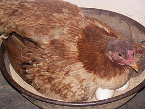 Broodiness - A brooding domestic hen.