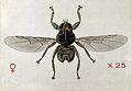 A grouse fly (Ornithomyia lagopodis). Coloured drawing by A. Wellcome V0022538.jpg