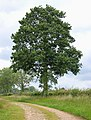 A handsome tree beside a farm track - geograph.org.uk - 1347729.jpg