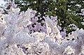 A kerfuffle of cherry tree blossoms - 2013-04-09 (8635278725).jpg