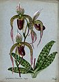 A lady's slipper orchid (Cypripedium Cassandra major); flowe Wellcome V0043280.jpg