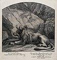 A roaring lion lying in wait for prey in a rocky landscape. Wellcome V0021161.jpg