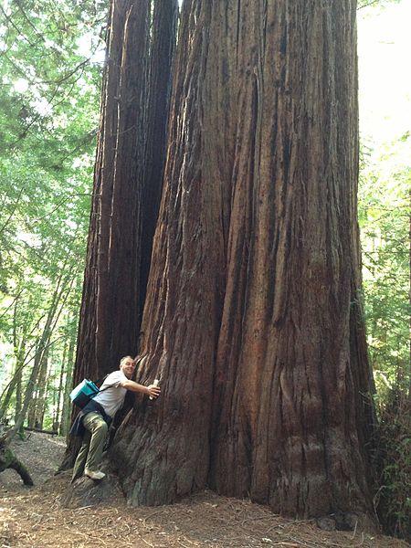 Redwood Tree Fairy Rings