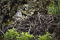 A young gyrfalcon perched by its nest (63f4fe5d-7bb8-488c-9974-617f9f016b0f).jpg