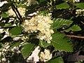 Ab plant 1733.jpg