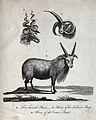 Above, the heads of a Cretan sheep and an Iceland sheep; bel Wellcome V0020894.jpg