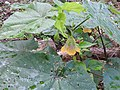 Abutilon ranadei-3-bsi-yercaud-salem-India.jpg