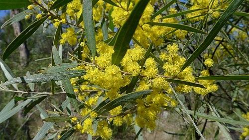 500px Acacia neriifolia flowers