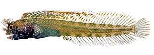 Acanthemblemaria harpeza - Image: Acanthemblemaria harpeza