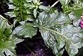 Acanthus mollis 5zz.jpg