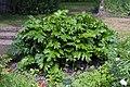 Acanthus mollis jardin des plantes.jpg