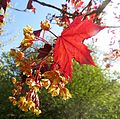 Acer platanoides var. Royal red.jpg