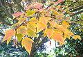 Acer rufinerve - Quarryhill Botanical Garden - DSC03618.JPG