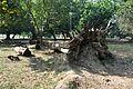 Acharya Jagadish Chandra Bose Indian Botanic Garden - Howrah 2011-01-08 9764.JPG