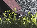 Ackersenf und Kirschblüte.jpg