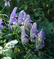 Aconitum variegatum 110807b