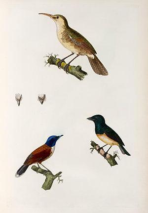 Nightingale reed warbler - Nightingale Reed-warbler