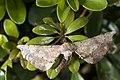 Acrodontis mystica (25185761373).jpg