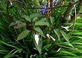 Actinidia pilosula (4624016578).jpg