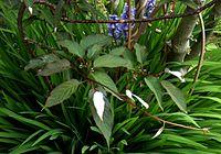 Actinidia pilosula (4624016578)