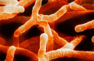 <i>Actinomyces</i> genus of bacteria
