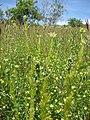 Adonis aestivalis plant (03).jpeg
