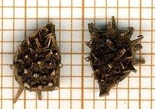 Adonis d 39 t wikimonde - Plante goutte de sang porte malheur ...